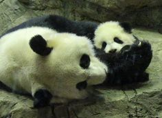 Mei Xiang & Bao Bao, 1/11/14 | Flickr - Photo Sharing!