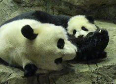 Mei Xiang & Bao Bao, 1/11/14 | Flickr - Photo Sharing!