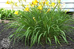 June Garden Stroll Thru the Small House Garden Hometalk :: A DIY Gardener's Guide to Hardy PerennialsHometalk :: A DIY Gardener's Guide to Hardy Perennials Hardy Perennials, Hardy Plants, Flowers Perennials, Planting Flowers, Small House Garden, Dream Garden, Lawn And Garden, Outdoor Plants, Outdoor Gardens