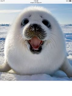This is a cute and funny baby seal lost in Antarctica he is screaming for his mom.