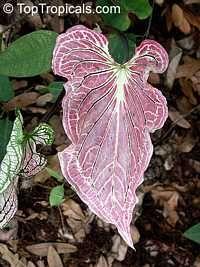 Caladium bicolor, Caladium, Fancy Leaved Caladium  Click to see full-size image