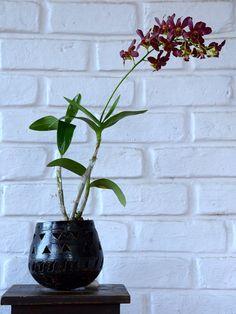 Buy Twisted Orchids (Dendrobiums)