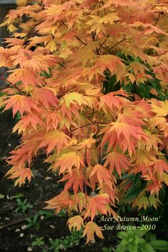 Gardening Autumn - Japanese Maple Autumn Moon - With the arrival of rains and falling temperatures autumn is a perfect opportunity to make new plantations Japenese Maple, Maple Tree Tattoos, Tattoo Tree, Japanese Garden Plants, Japanese Gardens, Acer Palmatum, Bonsai Garden, Bonsai Trees, Deciduous Trees