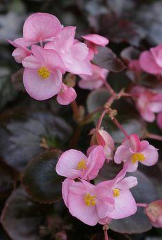 jardin exteriores imagenes : Flores   Begonia