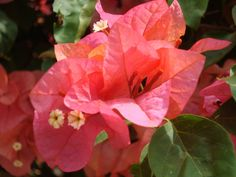 National Flowers of World Countries.. Guam ( Bougainvillea ) www.facebook.com/flowerofworld www.flowerhomes.blogspot.com