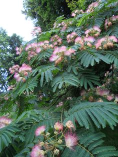 Mimosa Tree - I used to tie these flowers together as a child and pretend I was a hawaiian leis. Flowering Trees, Trees And Shrubs, Big Beautiful Houses, Dream Garden, Big Garden, Exotic Plants, Tropical Garden, Garden Inspiration, Garden Landscaping