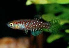 Plesiolebias_glaucopterus