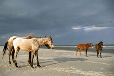 Feral horses on the beach at Cumberland Island