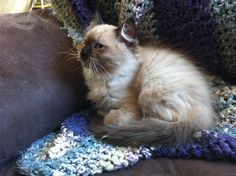Mink tuxedo kitten - 12 weeks Ragamuffin Cat, Tuxedo Kitten, 12 Weeks, Mink, Cats And Kittens, Animals, Animales, Animaux, Ragamuffin