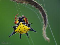 Jewel Spider...my favorite spider :)