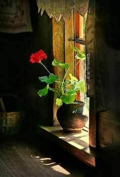 need geraniums in the bank of windows in the workroom. need geraniums in the bank of windows in the workroom.need geraniums in the bank of windows in the workroom. Art Floral, Watercolor Flowers, Watercolor Paintings, Red Geraniums, Still Life Photos, Window View, Through The Window, Light And Shadow, Belle Photo