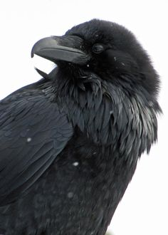 A common raven (Corvus corax)