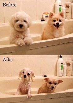 - I just had to pin this - happy one minute and drowned rats the next - it cracks me up...mine don't even fake being happy anymore when they get in the tub - it's tail down and mopey eyes for the next half hour.....