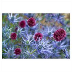 Bilderesultat for Allium 'Spaerocephalum