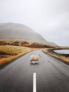 Sheep crossing roads in Iceland are common sights, that you should be aware of, driving around the country side. You are welcome to honk at them if they decide to have a picnic there, but those sweet creatures have all the time in the world, so why not relax and let the fellow pass in peace. It is a part of the charm on your road tip vacation to Iceland, right?