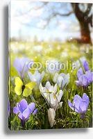 Постер Крокусы. Весна. Бабочка