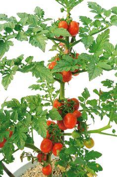 """Посмотрите, насколько просто можно уберечь помидоры от фитофторы   Канал """"у дачи!""""   Яндекс Дзен"""