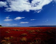 北海道網走市美岬。北海道・網走にある能取湖は、面積58万平方mほどの大きな塩水湖であり、オホーツク海とつながっています。8月下旬~10月上旬頃になると、サンゴ草の真紅の色が湖一面に広がります。真っ青な湖水とのコントラストをお楽しみください♪