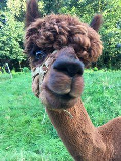 Alpaca Pacino is laughing - mehr auf www. Farm Animals, Animals And Pets, Funny Animals, Cute Animals, Animal Pictures, Funny Pictures, Animal Throws, Llama Alpaca, Tier Fotos