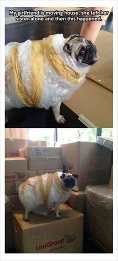 girlfriend moving house with funny dog #funnydogmeme