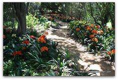 More than 7 000 clivias can be seen in full bloom at Babylonstoren during Spring. South Afrika, Edible Garden, Cape Town, Africa, Bloom, Canning, Spring, Plants, Pictures