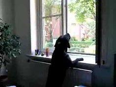 Labrador singt