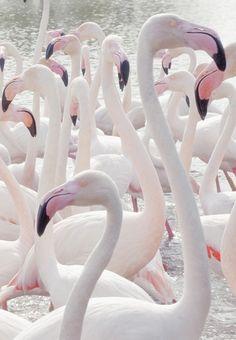 pale flamingos
