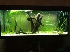 bogwood aquarium - Google Search Goldfish Aquarium, Aquascaping, Aquariums, Google Search, Pets, Water, Tanked Aquariums, Gripe Water, Fish Tanks