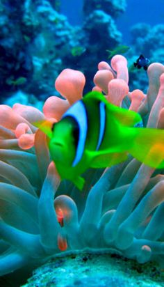 """Mystical colors - tropical fish and sea anemone from Nature Blogger (a beautiful blog with gorgeous photography!"