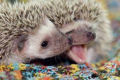 Hedgehog happy hedgehog, hedgehog pet, funny hedgehog, c Funny Hedgehog, Happy Hedgehog, Pygmy Hedgehog, Hedgehog Baby, Cute Animal Photos, Animal Pictures, Cute Funny Animals, Cute Baby Animals, Little Critter