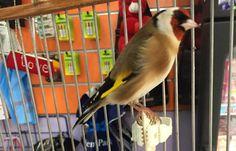 Toujours le plus beau le Chardonneret de : Haroun Meziani #الحسون #المقنين #القرديل #سهره  #Chardonnerert #Canari #Mulet #MuletOiseau #Oiseau #Birds #Animaux #Goldfich #Jilguero #Cardellino #καρδερίνα #Sakakuşu #Chien #Chat #Pigeon #Cheval #Science #Reptile #Poisson #Plantes #Hibiscus #Alger #Algérie #Tunisie #Maroc #ChardonneretGolden