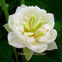 1 Pack profesional, 1 semillas / paquete, ' voluble en el amor ' loto blanco lirio de agua flor DIY #NF210(China (Mainland))