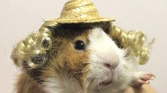 This is a thing (!!!) - Guinea Pigs with a Passion For Fashion