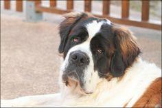 Saint Bernard!    (KO) Sweet, sad face. Needs love and smooches.