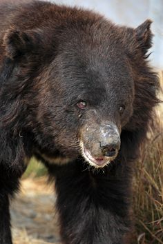 Chowti, a blind female asiatic bear, was once used for bear baiting but lives safely in a sanctuary. Black Bear, Brown Bear, World Animal Protection, Spectacled Bear, New Life, Polar Bear, Life Is Good, Blind, Female