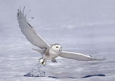 Unusual number of Arctic snowy owls spotted in U.S.