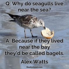 Q: Why do seagulls live near the sea? A: Because if they lived near the bay they'd be called bagels. Alex Watts  #quote