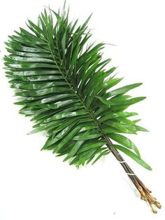 """Coontie is a Florida native that is a Cycad - """"living fossil."""" These primitive plants were a dominant form of plant life during the time of the Dinosaurs. The Seminole Indians used this plant as a food source while living in Florida in the 1700s. In the 1800s, several factories in Florida even used Coontie to produce starch. Between the starch factories, harvesting, and development in Florida, wild Coontie was almost wiped out! #floridagrown #originmatters #heritage"""