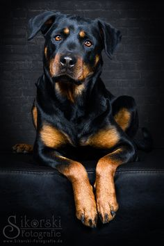 Rottweiler Hündin Jella Photo & image by Nicole Sikorski ᐅ View and rate this photo free at fotocommunity. Discover more images here. Best Puppies, Best Dogs, Dogs And Puppies, Chihuahua Dogs, Rottweiler Facts, Rottweiler Puppies, Beagle, Positive Dog Training, Easiest Dogs To Train
