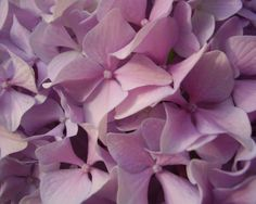Flowercents: Hydrangea Happiness
