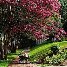 Colorful Crepe Myrtles | Southern Living: 'Tuscarora' (25-30'), 'Sioux' (12-15')