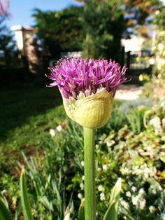 Allium in progress