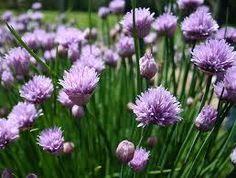 Chives (Allium schoenoprasum) ★ Smallest Species of Edible Onions ★ 50+ Seeds ★      .....    stores.ebay.ca/THESEEDHOUSE
