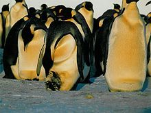 A Woods Hole Oceanographic Institution study in January 2009 found Emperor Penguins could be pushed to the brink of extinction by the year 2100 due to global climate change.