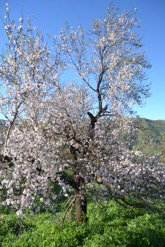 Almendros en flor. Valsequillo. Gran Canaria.-