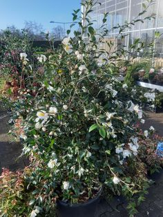 Echte winterbloeiers,  Camellia! Camellia, Wells