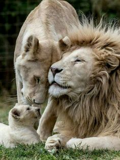 Eltern mit 3 Jungtieren Playmobil-Zoo-Löwenfamilie... Playmobil