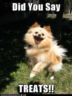 Pomeranian for fu dog study. Happy Animals, Funny Animals, Cute Animals, Animal Memes, Cute Puppies, Cute Dogs, Dogs And Puppies, Doggies, Fu Dog