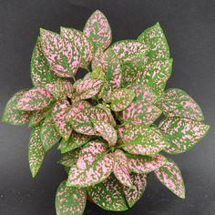 Hypoestes phyllostachya 'Pink Splash' : Steve's Leaves This little plant is usually called 'Pink Spl Plants, Pink Leaf Plant, Little Plants, Arrowhead Plant, Foliage Plants, Easy Care Houseplants, Pink Leaves, Pink Plant, Corn Plant