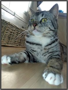 Jezus my silver tabby british shorthair in psycho-mode. :P